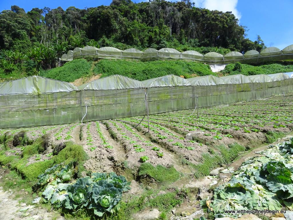 Farms in Cameron Highlands