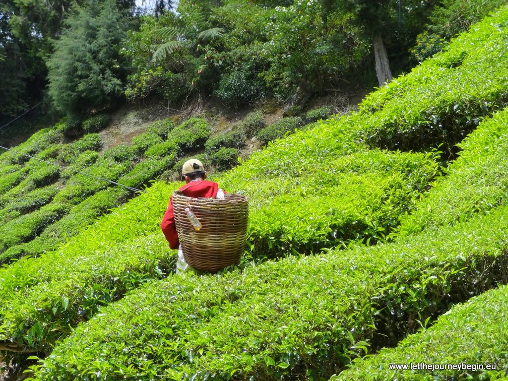 Worker gathering tea leaves at Boh tea plantation