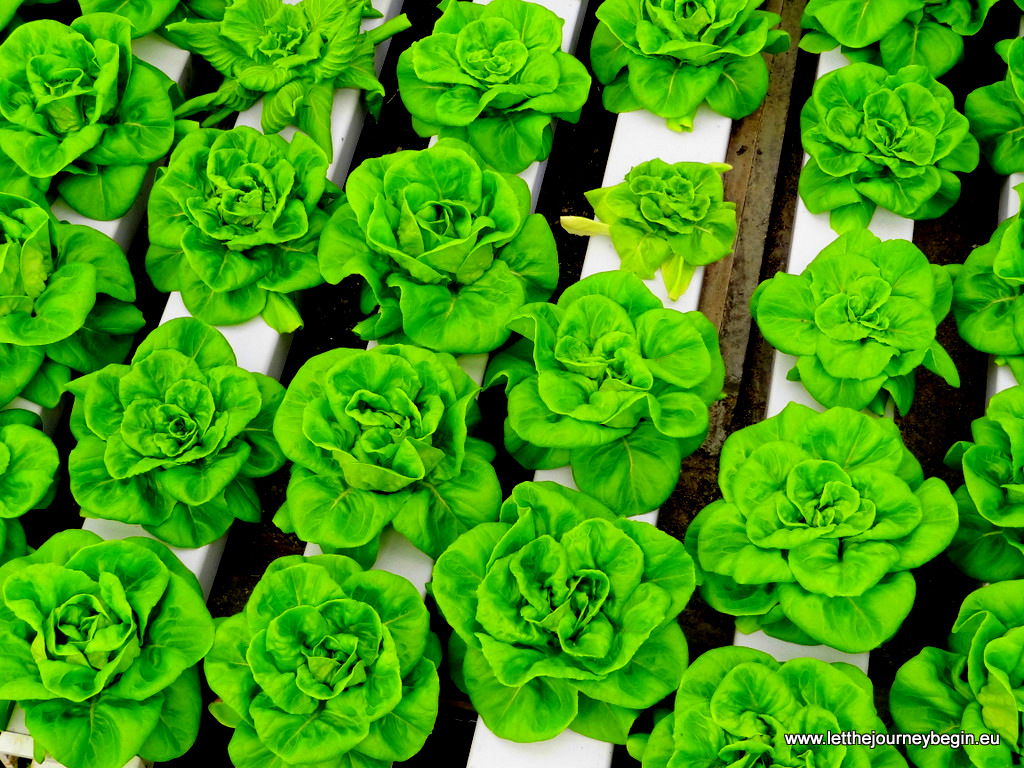 Growing salad at Cameron Highlands