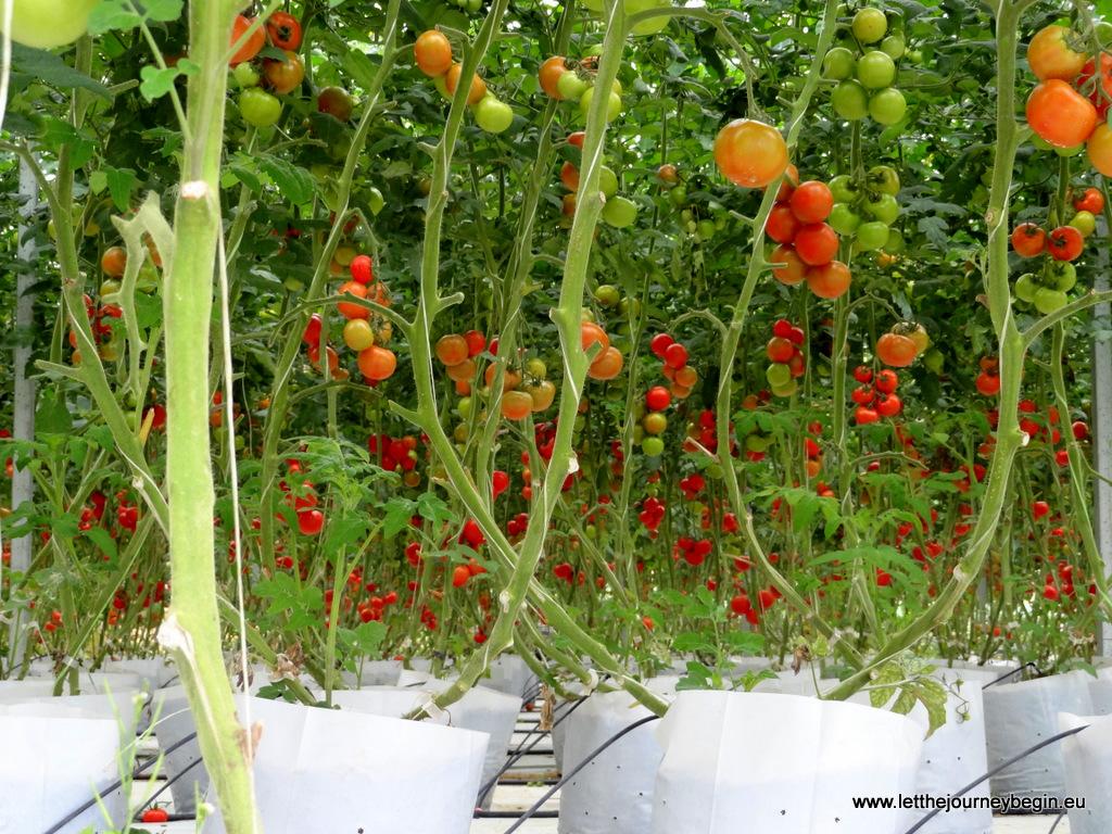 Tomato plantation at Cameron Highlands