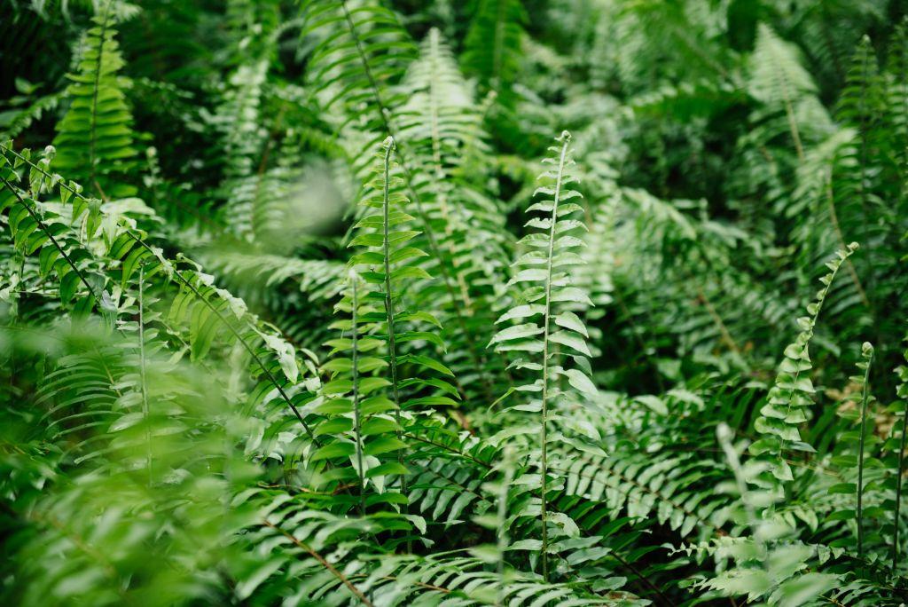 Midsummer in Latvia   fern flowers